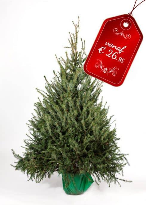 Blauwspar kerstboom in pot