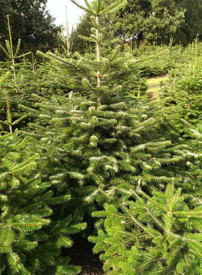 verse kerstbomen