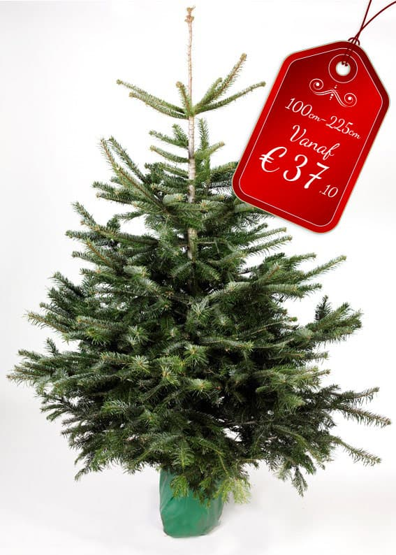 Kerstboom In Pot.Nordmann Spar In Pot