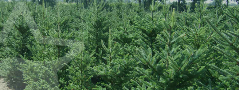 mooie kerstbomen op kweeklocatie